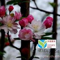 长年供应绿化苗木红宝石海棠、西府海棠、北美海棠等绿化苗木