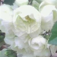 供应沂州海棠花系列银长寿花卉、世界一、长寿冠等木本花卉