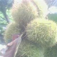 各种苗木、绿化苗木、果树苗木,石榴树苗、皱皮木瓜苗