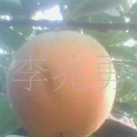 果树苗木,种苗、柿子苗、山楂苗、苹果等