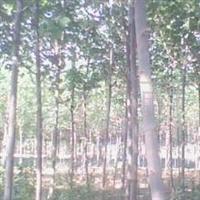 道路、小区、公园等首选绿化苗木,法桐树、速生苗、绿化苗木