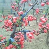纯木本海棠花、花卉、花卉盆景、大木瓜海棠