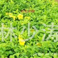 园林绿化、景观设计、园林绿化苗木、地被类、软枝黄蝉