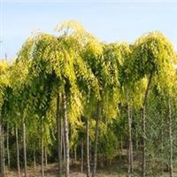 苗木直销金叶垂榆辽宁金叶垂榆质量较好