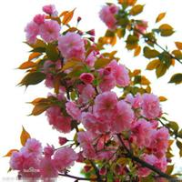 火爆出售榆叶梅、大量批发榆叶梅、成活率高