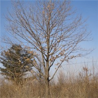 蒙古栎、乔木蒙古栎、、蒙古栎圆冠型、东北蒙古栎大全