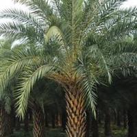 中东海枣的最低价格,福建中东海枣供应商