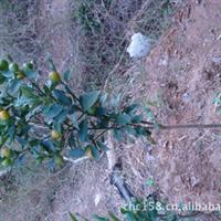 脆皮金桔苗金桔种苗金橘树苗结果金桔树