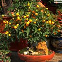 供应盆栽金桔