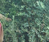 自繁自养1--10公分白榆树苗15万株