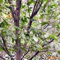 供应绿化苗木红白玉兰,红玉兰花木,白玉兰乔木