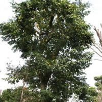 批发杨桃树洋桃树供应杨桃树批发绿化工程树承接绿化工程