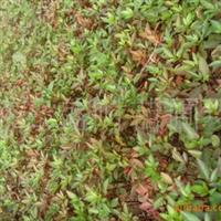 九叶青花椒幼苗花椒芽苗大量出售营养袋苗预订