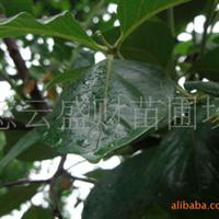 重庆江津直销日本甜柿柿子苗大量出售量大从优
