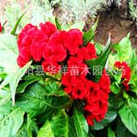 供应优质草花种子—鸡冠花种子野花种子花卉种子