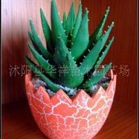 出售迷你盆栽、不夜城芦荟、防辐射、室内净化空气