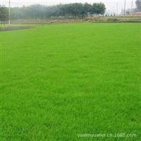大量供应南京草坪/马尼拉/台湾青/沟叶结篓草