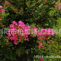 佳旺园林供应绿化园艺乔木大量优质紫薇详情请来电咨询
