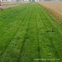 供应黑麦草、高羊茅等冷季型草坪