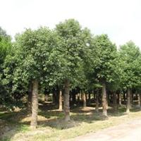 平顶山香樟树苗