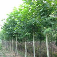 成都千蜀园林苗圃低价供应米径10公分法国梧桐