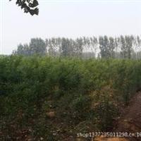 山东冠县最大苗木基地主营、国槐、法桐、白腊、杨树欢迎前来购买