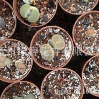 产地批发高档稀有品种生石花