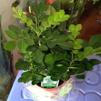 批发观叶小盆栽九里香,销量最好