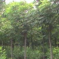 大量供应优质白蜡有意者面谈兖州昌盛苗木种植