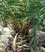 供应行道绿化苗木---加拿利海枣