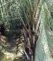 供应冻子椰子苗木