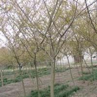花卉苗木梨花海棠乔木2-15cm