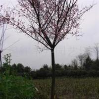 供应花卉红叶梅