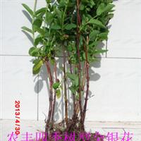 农丰四季树型金银花苗金银花种苗金银花苗