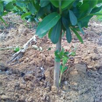 金银花金银花苗四季树型金银花种苗