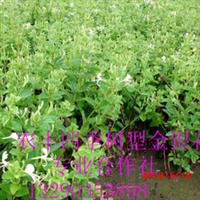 农丰金银花苗北华一号金银花种苗