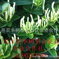 金银花品种山东农丰金银花苗北华一号金银花种苗