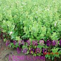 金银花苗金银花种苗北华一号金银花苗免费种植技术