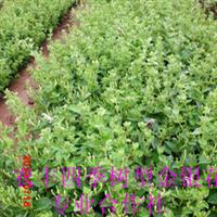 金银花苗优质金银花品种北华一号金银花种苗