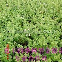 金银花品种北华一号金银花免费种植技术