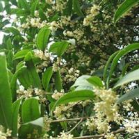 珍贵桂花树种常绿灌木小乔木湖南大地林业培育