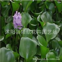 批发供应水生花卉水生植物水浮莲凤眼莲水葫芦苗园林水体绿化