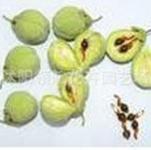销售批发花卉种子~美人蕉种子保证质量