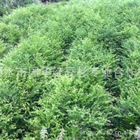 浙江丽水供应红豆杉苗木盆栽