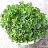 常年出售进口白三叶种子,草坪种子批发