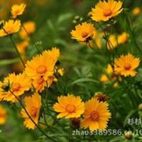 供应多年生宿根草本花卉-金鸡菊、野菊花种子