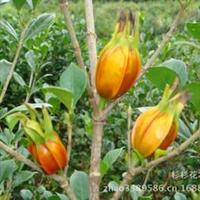 特价供应芳香植物-栀子花,栀子花苗,栀子花直销基地