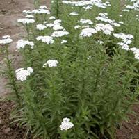 供应地被植物-千叶蓍草,又名西洋蓍草,多叶蓍,锯草