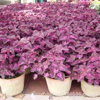 供应草本植物-百里香,大量出售百里香植物
