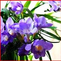 香雪兰种球蓝色多瑙河单瓣品种